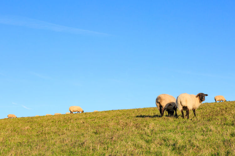 Sheep grazing on field against clear blue sky