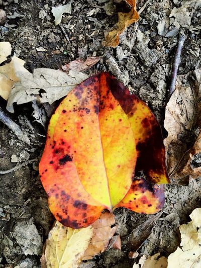 Leaf Autumn Change Nature Leaves Dry Fallen Day Outdoors Beauty In Nature Close-up Maple Maple Leaf No People Fragility