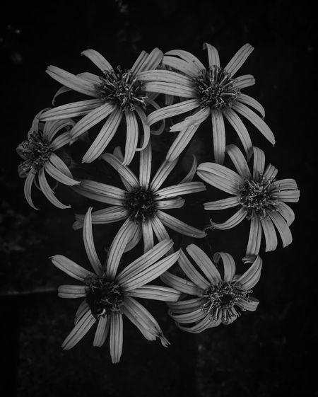 Flower Petal Fragility Flower Head Beauty In Nature Freshness No People Nature Close-up Blooming Plant Osteospermum Day