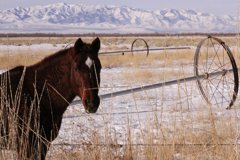 Horse Mountain Snowy Mountains Field Brown Horse Sprinkler Pipes Farm Winter Suburban Suburbia United States Horizontal