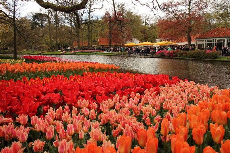 Beautiful Beauty In Nature Flower Flowers Freshness Growth Holland My Year My View Nature Nature Netherlands Outdoors Red Spring Tulip Tulipmania Tulips Tulips #spring Tulips Flowers Tulips In The Springtime Tulips Spring Tulips, Flowers, Garden Tulipseason Tulips🌷 Tulpen