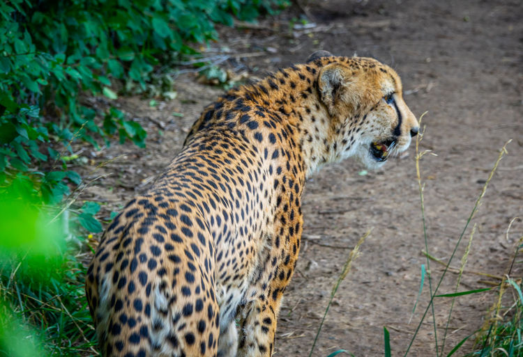 Animal Animal Head  Animal Themes Animal Wildlife Animals In The Wild Big Cat Carnivora Cat Cheetah Day Feline Field Land Leopard Looking Looking Away Mammal Nature No People One Animal Outdoors Spotted Undomesticated Cat Vertebrate Whisker