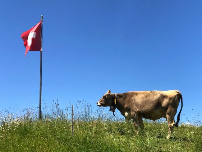 Grass Livestock Cow Clear Sky Domestic Animals Mammal Day Agriculture No People Outdoors Rural Scene Nature Animal Themes Blue Sky Swiss Flag Switzerland Travel Destinations Travel Sommergefühle Patriotism Investing In Quality Of Life Your Ticket To Europe An Eye For Travel