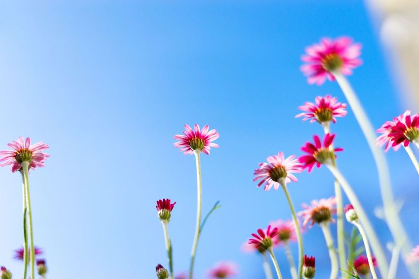 Little Growing and... Simplicity Flowering Plant Plant Flower Beauty In Nature Freshness Sky Low Angle View Growth Fragility Clear Sky Vulnerability  Blue Nature No People Close-up Day Pink Color Petal Flower Head Inflorescence