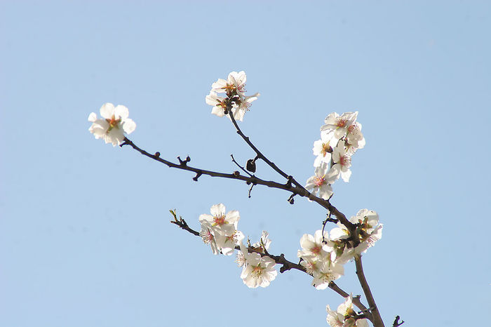 Almond Almond Flowers Almond Tree Beauty In Nature Blooming Blossom Blu Sky Botany Day Eyeem Spring Flower Fragility Freshness Growth Nature No People Petal Pink Color Sky Spring Spring Flowers Springtime White White Flower White Flowers
