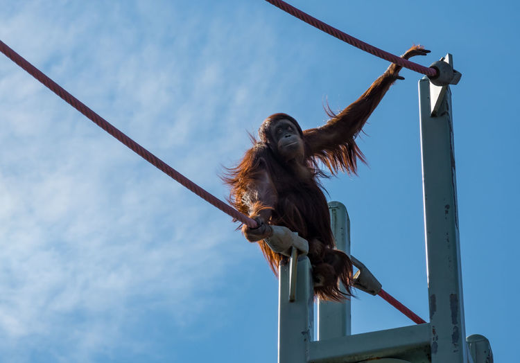 Low angle view of monkey on rope against sky