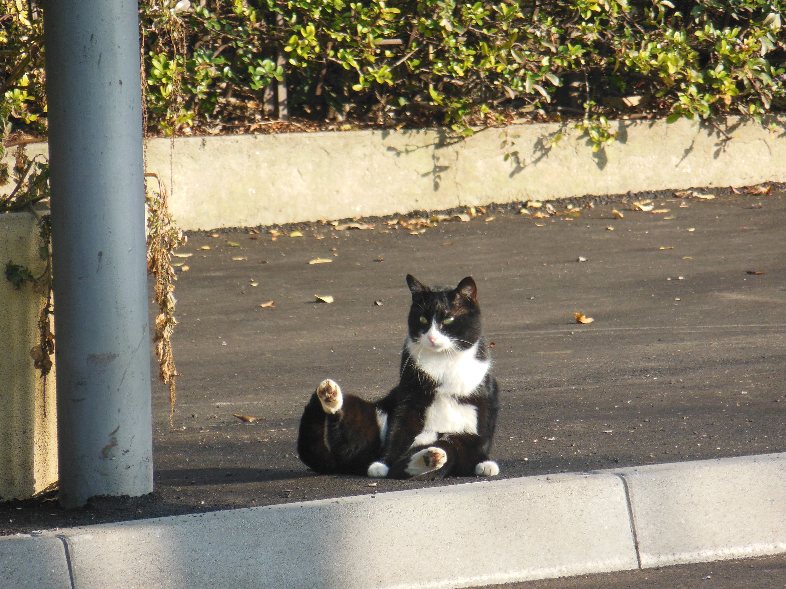 pets, domestic animals, animal themes, mammal, one animal, domestic cat, cat, feline, dog, high angle view, sitting, relaxation, stray animal, street, looking at camera, outdoors, whisker, carnivora, footpath, sidewalk