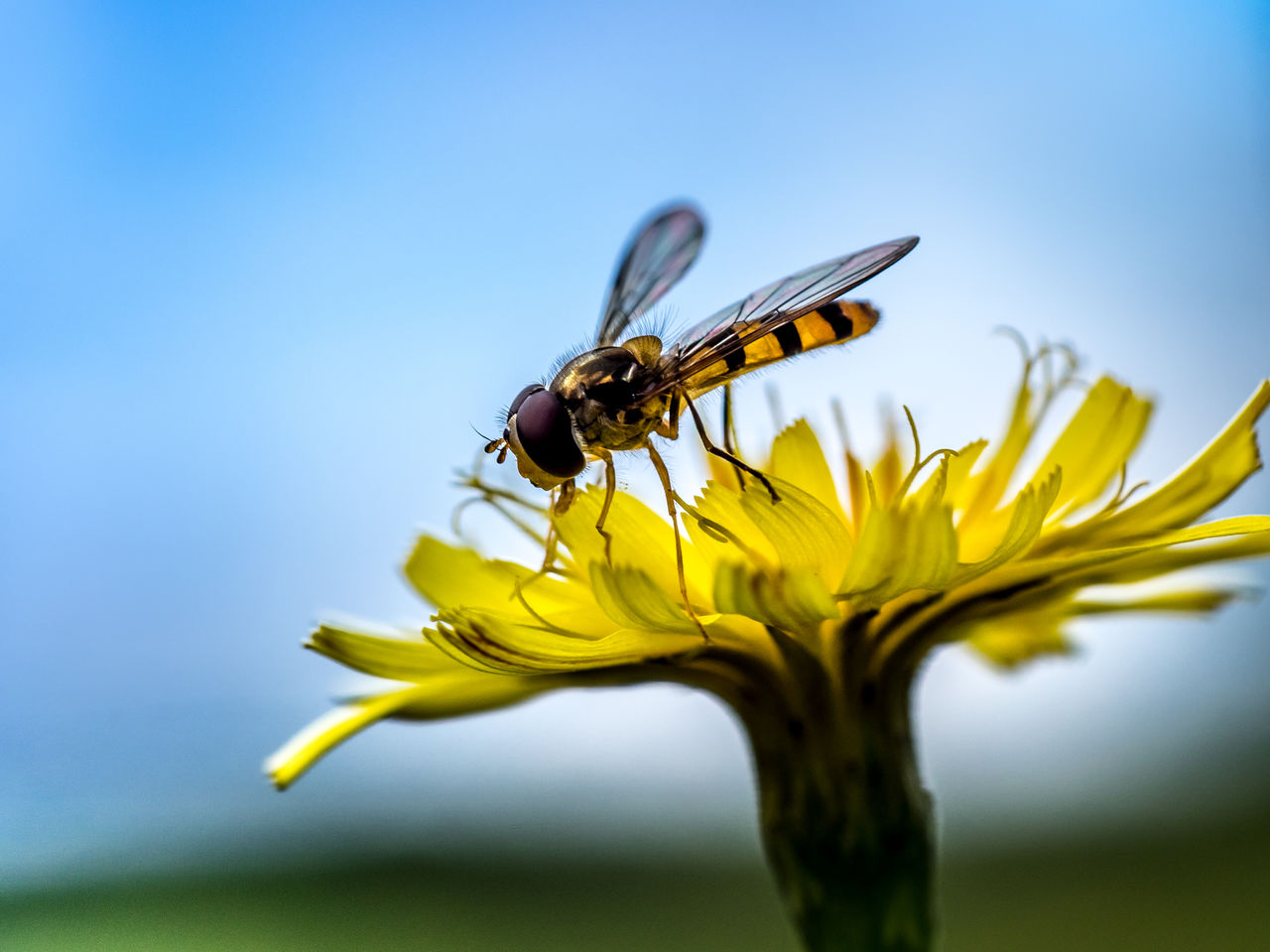 Close-Up Of Hoverfly On Yellow Flower Against Sky