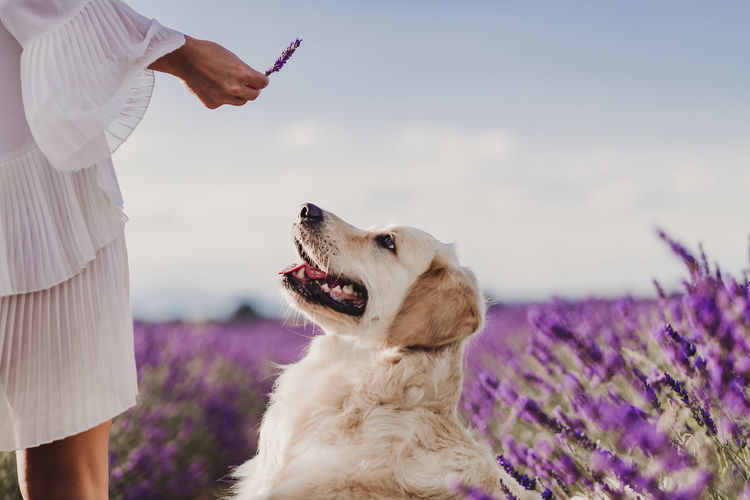 Midsection of woman showing lavender flower to dog