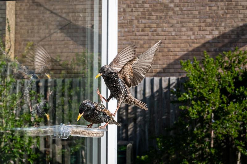 Garden wildlife as a starling, sturnus vulgaris, perches on bird feeder with reflection