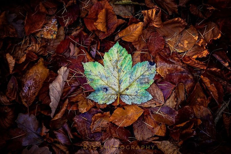 Standing out in the crowd Leaf Autumn Change Dry Nature Maple Leaf No People High Angle View Outdoors Day Beauty In Nature Close-up Fragility Maple