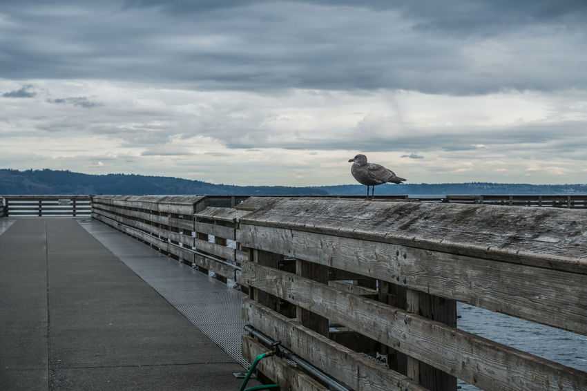 A seagull sites on a pier railing at Dash Point, Washington. Pacific Northwest  Animal Themes Animal Wildlife Animals In The Wild Bird Cloud - Sky Dash Point Day Nature No People One Animal Outdoors Perching Pier Railing Retaining Wall Sea Sky Water Wood - Material