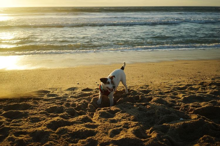 Dog Digging Sand At Beach Against Sky During Sunset