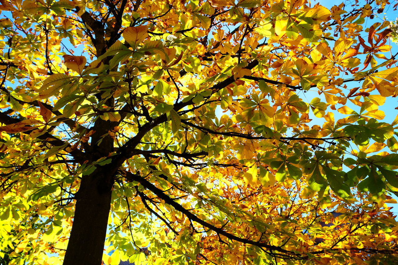 tree, plant, branch, autumn, low angle view, beauty in nature, plant part, leaf, yellow, growth, change, no people, nature, day, outdoors, tranquility, sunlight, backgrounds, maple tree, maple leaf, leaves, tree canopy, fall, natural condition
