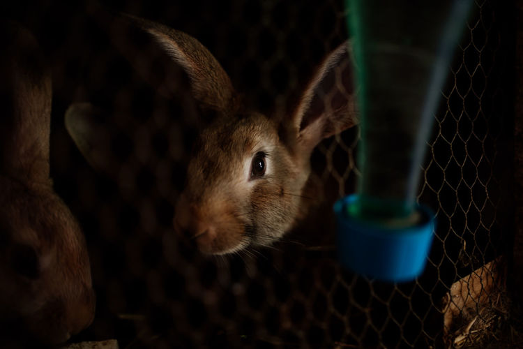 Rabbit Rabbit - Animal Rabbits Animals Caged Animal Themes Mammal Animal One Animal Pets Close-up Domestic Animals No People Vertebrate Domestic Indoors  Animals In Captivity Whisker Selective Focus Rodent Animal Head  Animal Body Part
