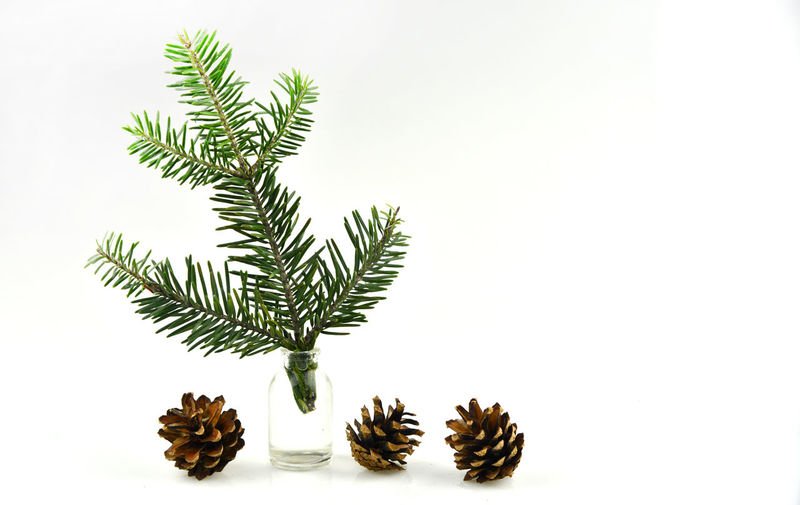 Close-up of pine cone against white background
