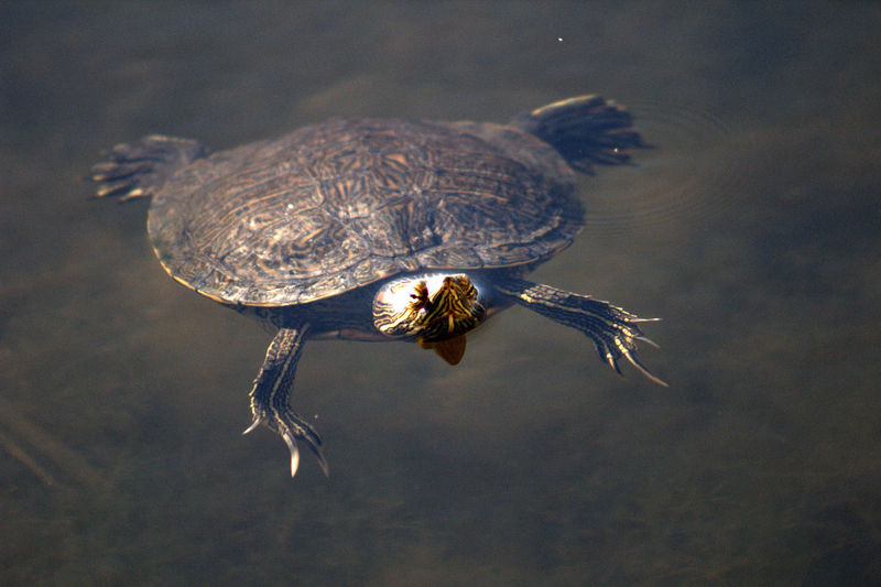 Red eared slider turtle swimming in lake