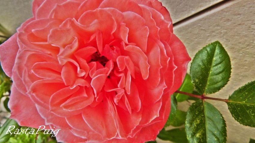 rosa #rosa #photography #FREIHEITBERLIN #Nature  #EyeEmNewHere #beautiful #flower#garden#nature#ecuador#santodomingoecuador#eyeEmfollowers#iphoneonly#nofiltrer#macro_garden#pretty#beautiful#followme#sho #EyeEm #love #flowers Flower Head Flower Leaf Red Petal Water Close-up Blooming Plant In Bloom Plant Life Single Rose Pollen Cosmos Flower Single Flower Sunflower