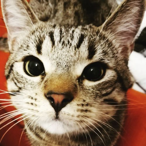 Domestic Cat One Animal Pets Animal Themes Whisker Looking At Camera Close-up