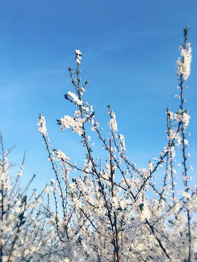 Spring Daytime Flower White Color Sky Nature Blue Sky Growth Tree Springtime Blossom Beauty In Nature No People Branch Outdoors Freshness Close-up Enjoyinglife  Hello World