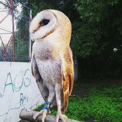 Berjemur Birdofprey Owl Barnowl Nocturnal Tytoalba Serakjawa Birdofinstagram Raptor