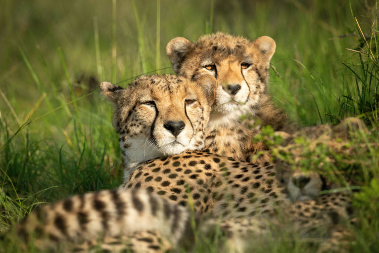 Close-up of cheetah and cubs lying down