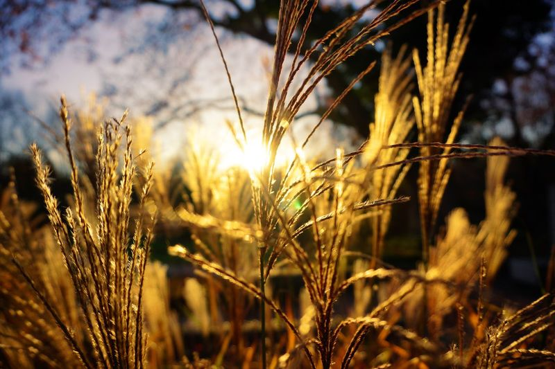 Autumn sunset Autumn Mood Autumn Park Sunset Plant Growth Beauty In Nature Nature Field Tranquility Land Cereal Plant Outdoors Scenics - Nature Focus On Foreground Agriculture Rural Scene No People