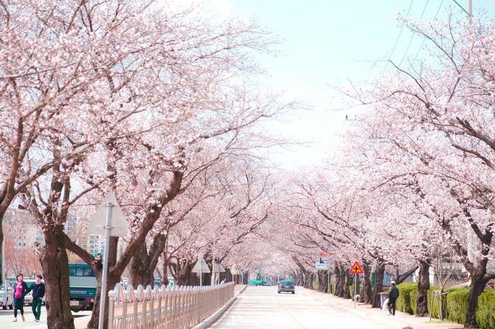 Urban Spring Fever Cherry Blossom Flower Pink Road Sunny White Pastel Spring April Showcase April Canon Eos 450d 벚꽃 꽃 봄 꽃놀이 나무 4월 정읍 Senary Tree Branch Sky South Korea