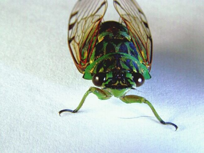 Macro Beauty Cicada Green Nature Linda Vista, Coto Brus, Costa Rica Life