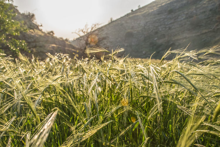 Jerusalem Authenticity Agriculture Growth Crop  Land Nature Wheat Plantation Outdoors Field Beauty In Nature