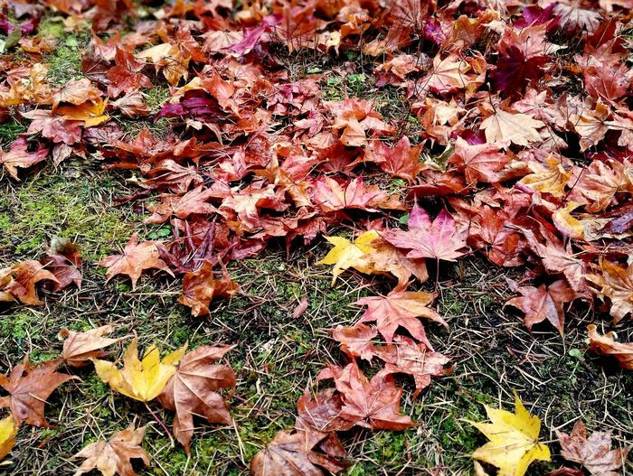 Autumn Colors Autumn Beauty In Nature Change Leaf Maple Leaf No People Outdoors