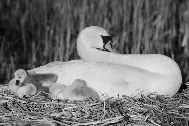 Bird Photography Animal Animal Family Animal Nest Animal Themes Animal Wildlife Animals In The Wild Babyswans Beak Bird Bird Nest Birds_collection Close-up Cygnet Day Focus On Foreground Group Of Animals Nature Relaxation Two Animals Vertebrate Young Animal Young Bird