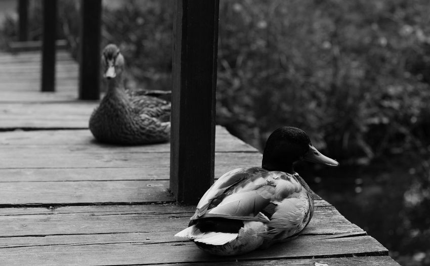 Animal Themes Birds Black-and-white Photography Ducks Ducks Pair Nature No People Wood - Material Wooden Two Is Better Than One