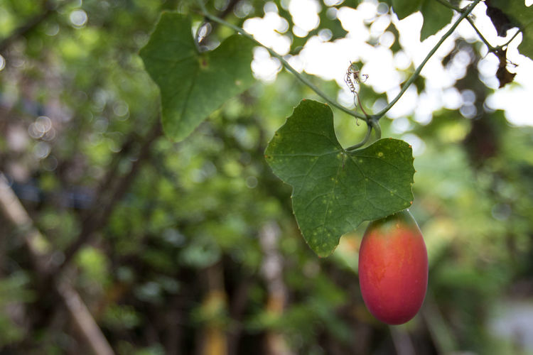 Coccinia grandis Coccinia Grandis Beauty In Nature Branch Close-up Freshness Green Color Growth Leaf Nature Outdoors Red Tree