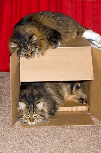 how do you trap a cat? just put out a box! these two cats turned theirs into a 2 story condo Cardboard Box Cat Trap Animal Animal Themes Cat Condo Close-up Day Domestic Animals Domestic Cat Feline Indoors  Looking At Camera Maine Coon Cats Mammal No People One Animal Pets Recycle Repurposed