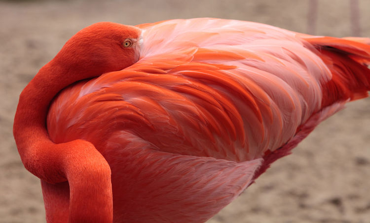Pink Caribbean flamingo, Phoenicopterus ruber, in the middle of flock flamingos during breeding season. Animal Themes Animals In The Wild Bird Birds Caribbean Flamingos Day Flamingo Flamingo Long Neck  Nature No People Outdoors Phoenicopterus Ruber Pink Bird Pink Flamingo Wildbird Wildlife
