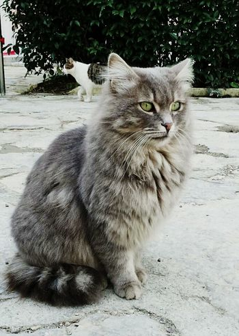 Turkish Cat