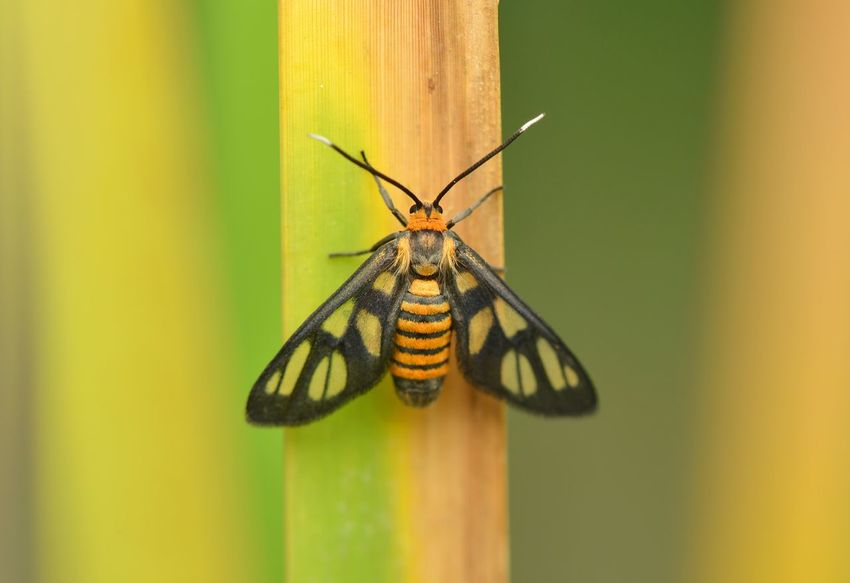 Tiger moth Animal Themes Insect Animals In The Wild One Animal Animal Wildlife No People Close-up Tiger Moth Macro Beauty Macro Photography Macro_collection Beauty In Nature Green Color Insects Collection Butterfly - Insect Nature Outdoors