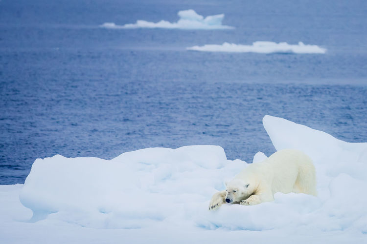 Polar Bear On Glacier In Sea