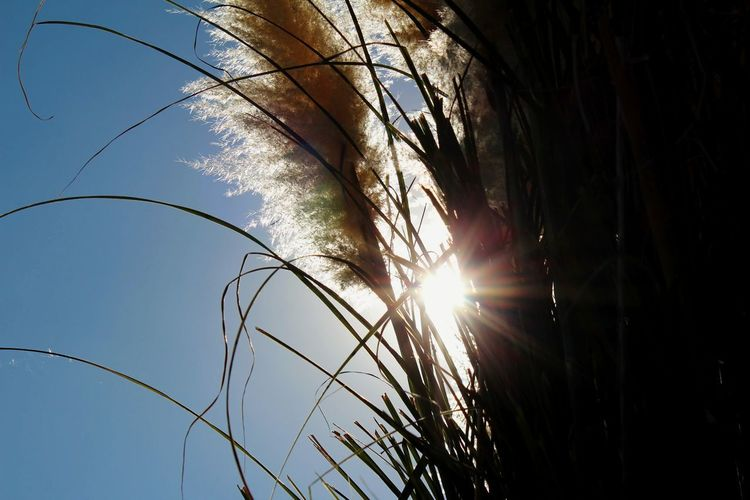 Low angle view of stalks against bright sun