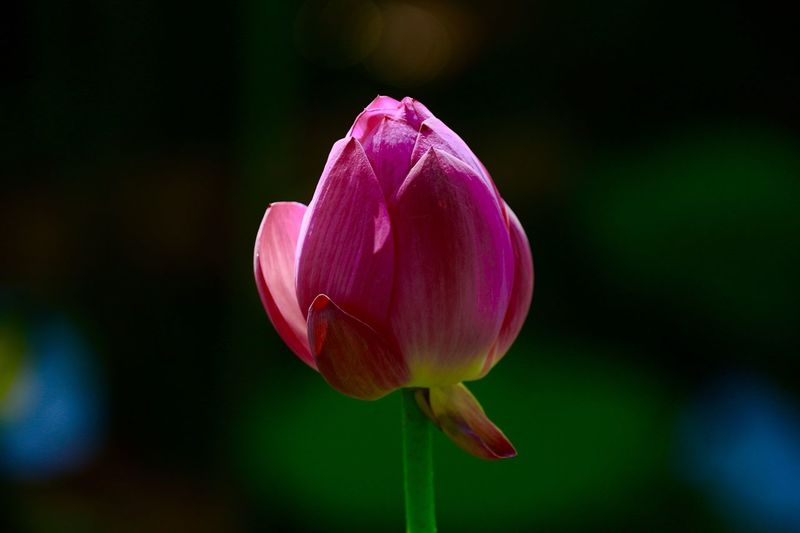 Close-up of pink tulip blooming outdoors