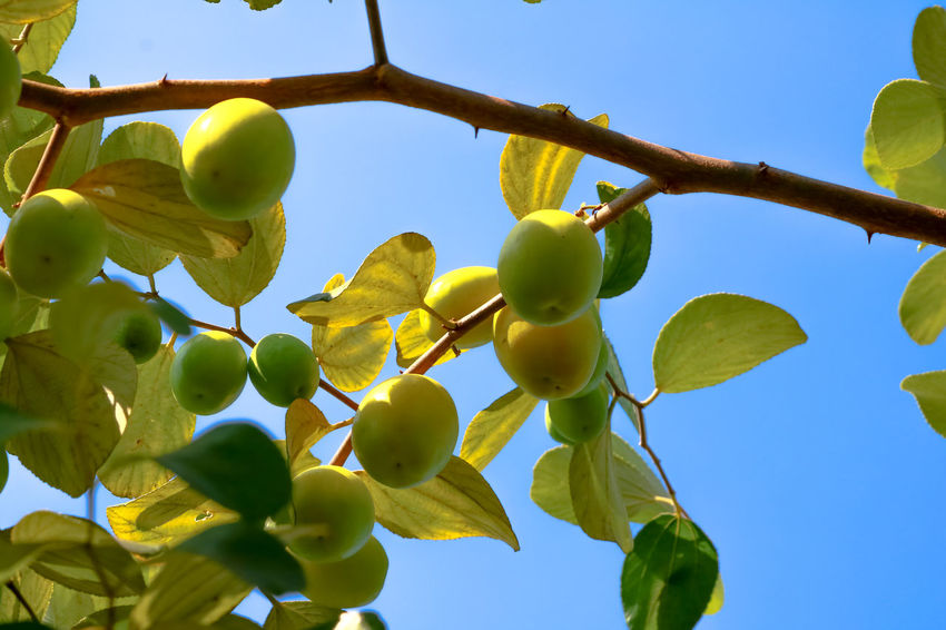 Agriculture Beauty In Nature Branch Citrus Fruit Close-up Day Food Food And Drink Freshness Fruit Green Color Growth Healthy Lifestyle Leaf Low Angle View Monkey Apple Nature No People Outdoors Sky Social Issues Tree Vitamin Yellow