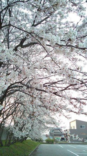 (ソメイヨシノ-Someiyosono) Flowers Japanese Spring