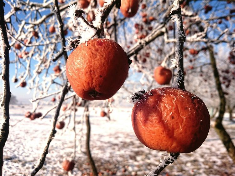 Fruit Tree Nature Outdoors No People Beauty In Nature Freshness Nice Day Fresh On Eyeem  Frozen Fresh Produce Frosty Frosty Mornings Frozen Food EyeEm Gallery EyeEm Best Shots Tree_collection  Poland 💗 Aple_tree Branch Aple Aples Point Of View Pointperspective Frosty ⛄ Shades Of Winter
