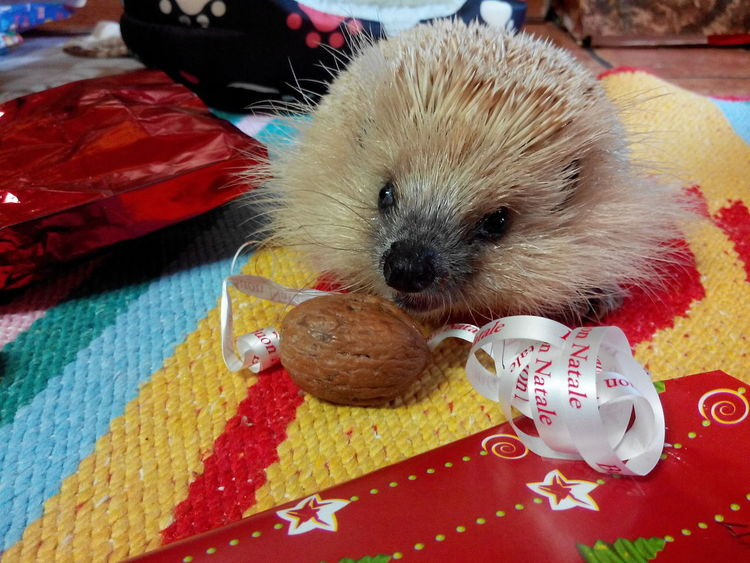 One Animal Pets Animal Themes Domestic Animals Indoors  No People Looking At Camera Portrait Cute Animal Eye No Filter Hedgehog Ugo Porcospino IT Lovely Animals Vacancy Xmastime Xmas Memories Relaxing Sardegna Day Close-up Mammal Pet Portraits