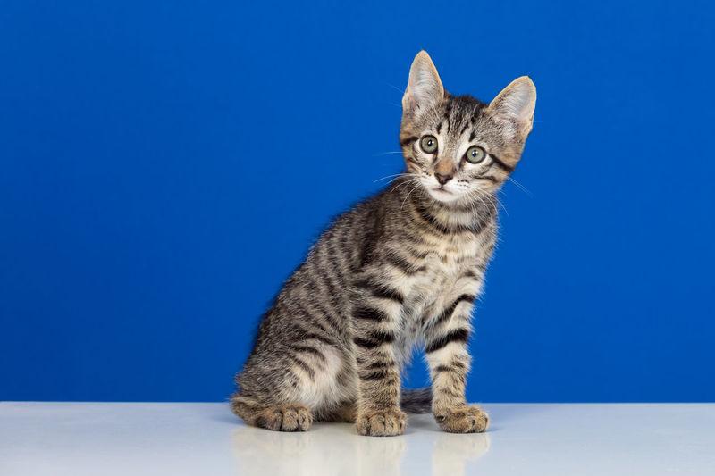Portrait of cat sitting against blue background