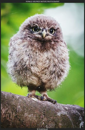 Little owl are cute... Little owl baby are a hole different story 💗💗 Owl Little Owl Bird Animal Wildlife Nature Photography
