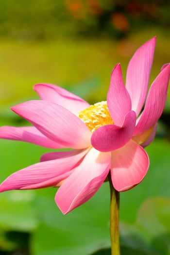 Lotus flower in bloom. Gentle Life Lotus Flower Majestic Nature Morning Morning Flower Pink Pond Flower Beauty In Nature Blooming Close-up Flower Flower Head Fragility Freshness Growth Lotus Pond Lotus Water Lily Morning Bloom Nature Outdoors Petal Plant Tropical Water Flower