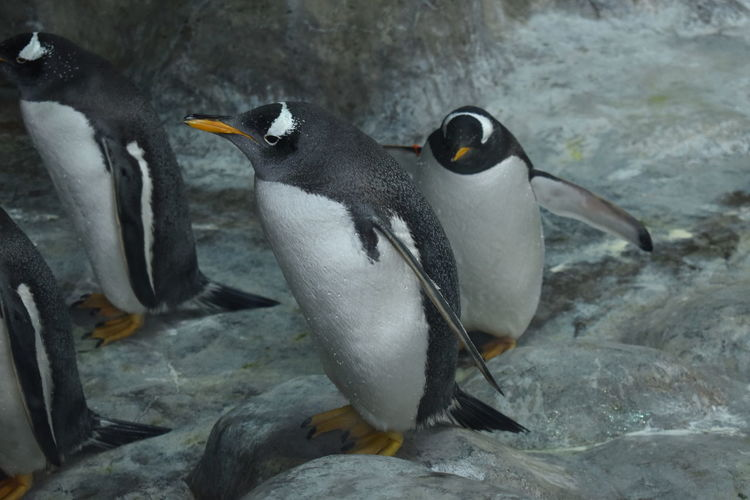 Penguins Moscow zoo nature Penguins Moscow Zoo Penguins UnderSea Bird Sea Life Sea Water Colony Scuba Diving Penguin Beach Full Length Seal - Animal Aquatic Mammal Animal Fin Frozen Water Otter Aquarium Humpback Whale Seal Antarctica Aquatic Whale Ecuador Tail Fin Swimming Swimming Animal Shark Fish Tank Stingray