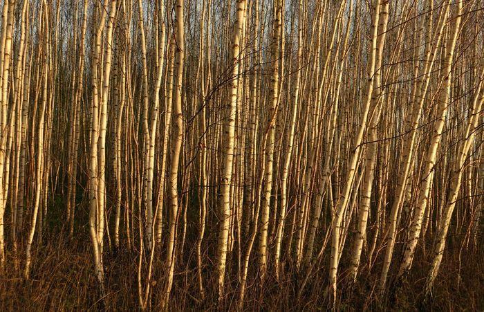 Bäume Trees Winter Beauty In Nature Birken Moorland Nature Outdoors Plant